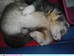 Reader Squees: Furry Ferret Nap