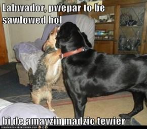 Labwador, pwepar to be sawlowed hol  bi de amayzin madzic tewier