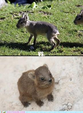 Squee Spree: Maras Vs. Rock Hyraxes!