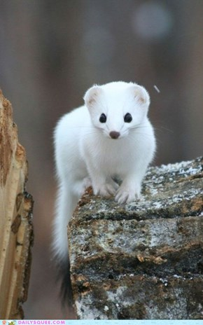 Daily Squee: White Mongoose at the Ready