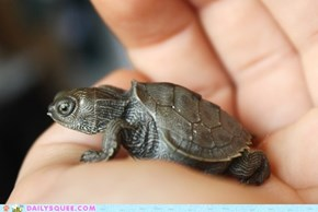 Daily Squee: Palm-Turtles for Everyone!