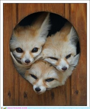 Daily Squee: Bouquet of Fennecs