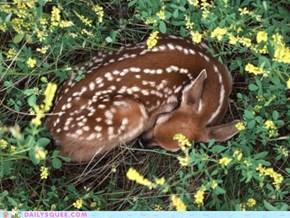 Hush, Deer