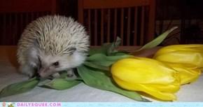 Prickly Tulip