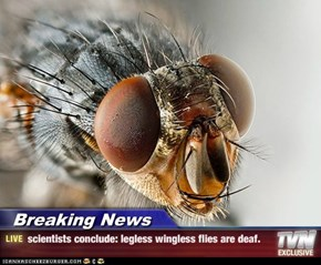 Breaking News - scientists conclude: legless wingless flies are deaf.