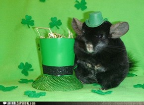 Luck O' The Chinchilla