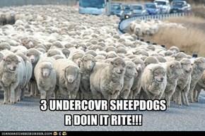 3 UNDERCOVR SHEEPDOGS  R DOIN IT RITE!!!