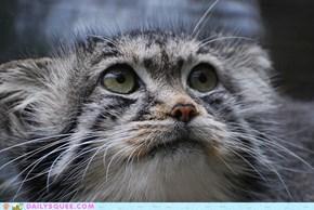 Pallas Cat is Wary