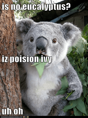 is no eucalyptus? iz poision ivy uh oh