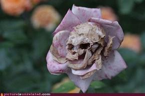 Dead Rose Is Dead