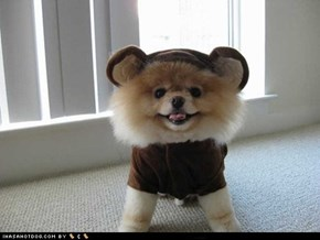Cyoot Puppy ob teh Day: Pom-Bear!