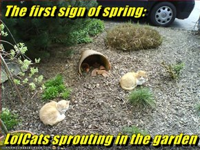 The first sign of spring:  LolCats sprouting in the garden