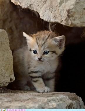 Curious Sand Kitten
