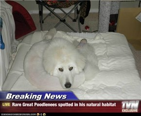 Breaking News - Rare Great Poodlenees spotted in his natural habitat