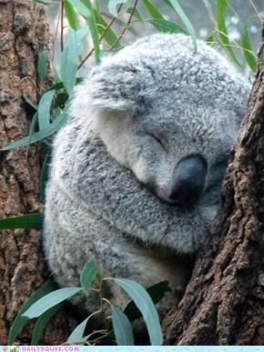 Squee Spree: Koala Naptime