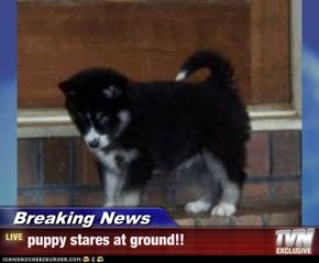 Breaking News - puppy stares at ground!!