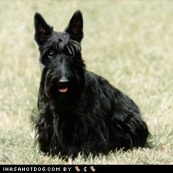 Goggie ob teh Week FACE OFF: Scottish Terrier