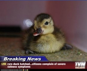 Breaking News - rare duck hatched...citizens complain of severe cutness symptoms
