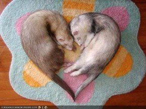 Ferrets in Love