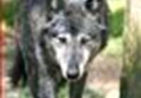 Sciwolf