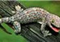 geckosgirl