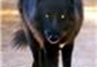 Wryterwolf