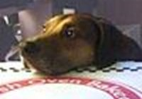 littlebrowndog