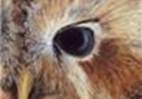 Tawny_Owl22