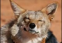 drunken_coyote