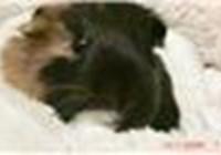 GuineaPigGirl12341