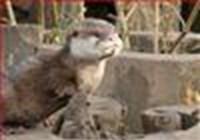 OttersAbroad