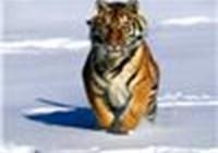 tigercats
