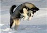 husky202