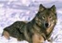 wolfie1010