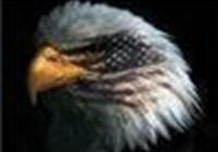 eagle311
