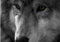 Norwolf