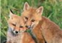 Fox_Paws