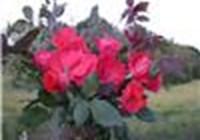 rosefire