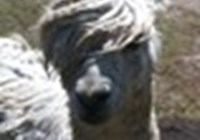 alpaca.trollin