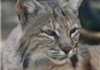Bobcat665