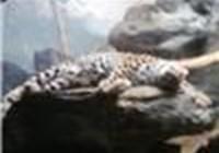dracogecko