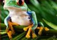 redeye.treefrog