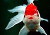 goldfishie1