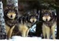 WolfGirl1290