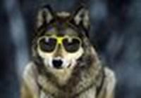 wolfinsunglasses