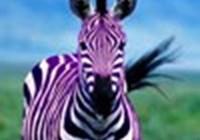 purplezebrasss