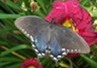 Butterflies918