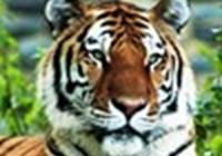 Tigersrule115