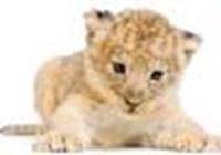 lady_lion