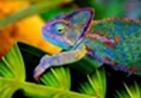 Chameleon2636